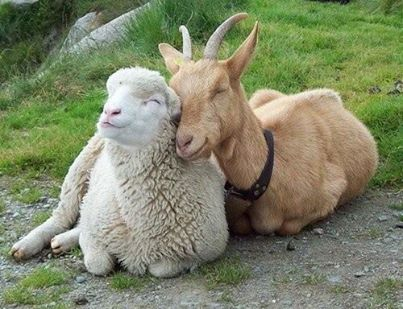 Are you a sheep, or a goat?